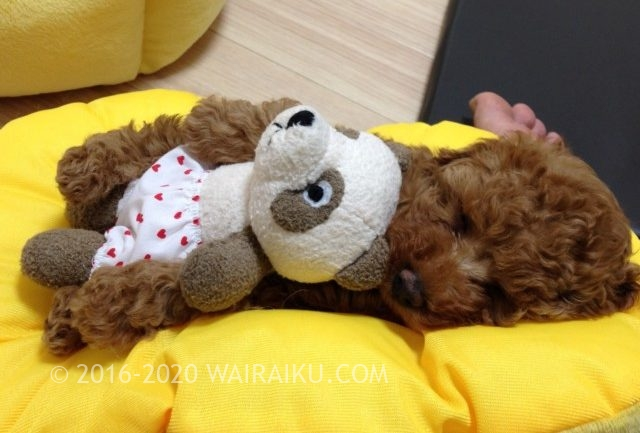 トイプードル toypoodle