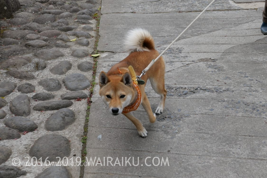 修善寺 犬 ゴマ