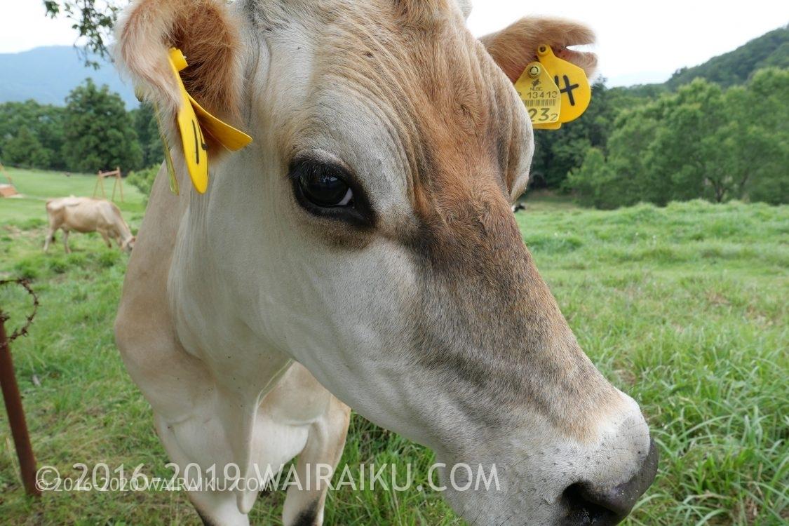 黒沢牧場の牛