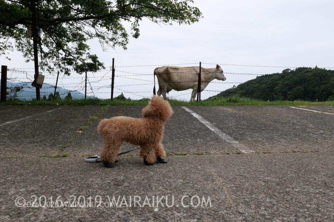 牛とトイプードル