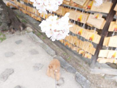 安部文殊院 桜 犬