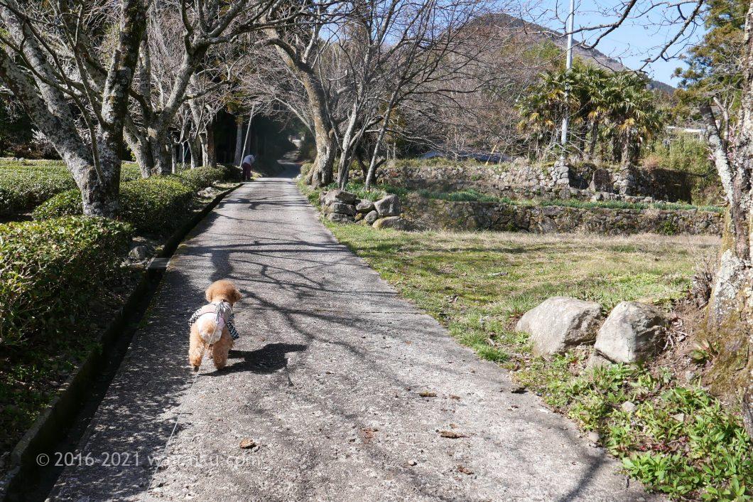 三多気の桜 犬連れ